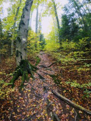 Las bukowy - Folusz